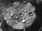Nasturtium Raindrops