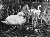 Swan Pen and Her Cygnets