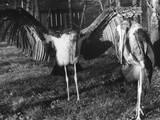 Marabon Storks