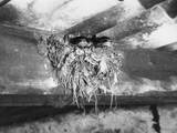 Nest of Swallows