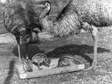 Emus and Chicks