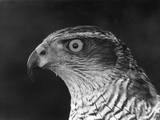 Head of a Goshawk
