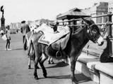 Tethered Seaside Donkeys