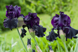 Purple Irises in Bloom Photo Print Poster