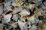 Conch Shells Photo Print Poster