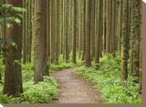 Japanese Cedar Forest at Mount Yahiko
