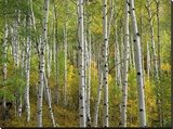 Aspen trees in fall  Colorado