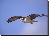 Osprey flying  North America
