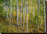Aspen forest  Colorado