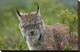 Canada Lynx portrait  North America