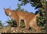 Canada Lynx climbing on rock  North America