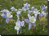 Colorado Blue Columbine flowers  American Basin  Colorado