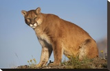 Mountain Lion North America