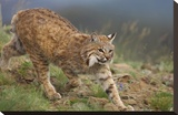 Bobcat stalking  North America