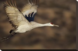 Sandhill Crane flying  Bosque Del Apache  New Mexico