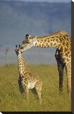 Masai Giraffe mother and young  Kenya