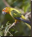 Sun Parakeet  native to South America