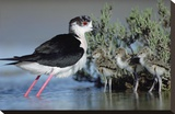 Black-winged Stilt mother with three chicks  Camargue  France