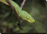 Emerald Tree Boa in tree  Costa Rica