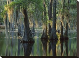 Bald Cypress swamp  Sam Houston Jones State Park  Louisiana