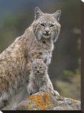 Bobcat mother and kitten  North America