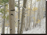 Aspens with snow  Gunnison National Forest  Colorado