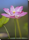 Sacred Lotus flower  native to Asia