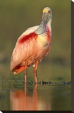 Roseate Spoonbill wading  North America