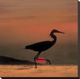 Little Egret silhouetted at sunset  Africa