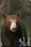 Black Bear portrait  North America