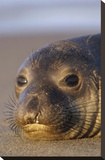 Northern Elephant Seal portrait on beach  North America