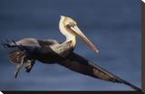 Brown Pelican flying  California
