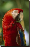 Scarlet Macaw  native to Central and South America