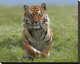Siberian Tiger running  native to Russia