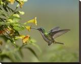 Andean Emerald hummingbird feeling on yellow flower  Ecuador