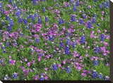 Sand Bluebonnet and Pointed Phlox