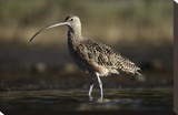 Long-billed Curlew wading  North America