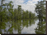 Bald Cypress swamp  Cypress Island  Lake Martin  Louisiana