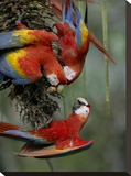 Scarlet Macaw trio feeding on palm fruits  Costa Rica