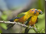 Sun Parakeet pair feeding on leaves  native to South America
