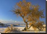 Fremont Cottonwood single tree in desert  White Sands National Monument  New Mexico