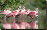 Roseate Spoonbill flock wading in pond  Texas coast near Galveston