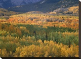 Aspen trees in fall colors  Gunnison National Forest  Colorado