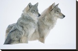 Timber Wolf portrait of pair sitting in snow  North America