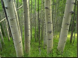 Aspen forest in spring  Gunnison National Forest  Colorado