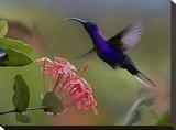 Violet Sabre-wing male hummingbird feeding at flower  Costa Rica