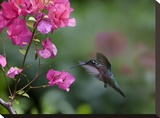 Magnificent Hummingbird female feeding at flower  Costa Rica