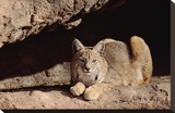 Bobcat adult resting on rock ledge  North America