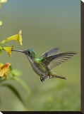 Andean Emerald hummingbird feeding on a yellow flower  Ecuador
