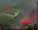 Rufous-tailed Hummingbird at Fairy Duster flower  Costa Rica